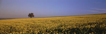 Rape Field Southern Germany