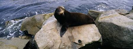 High angle view of a sea lion lying on a rock at