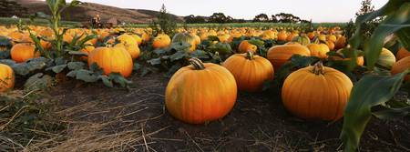 Close-up of pumpkins in a field