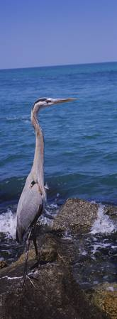 Side profile of a Great Blue heron (Ardea herodia