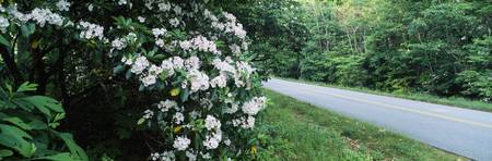 Mountain Laurel (Kalmia latifolia) flowers at roa