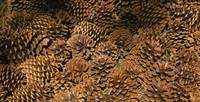 Close-up of pine cones