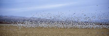 Snow Geese Bosque Del Apache NM