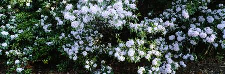 Mountain Laurels (Kalmia latifolia)