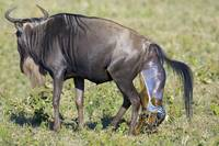 Side profile of a wildebeest giving birth to its