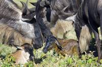 Three wildebeests with their calves in a field