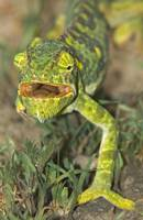 Close-up of a Flap-eared chameleon