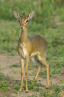 Close-up of a Kirks dik-dik