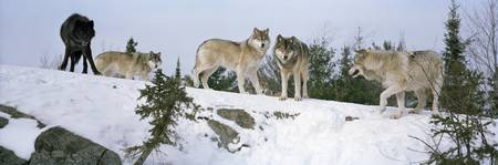 Gray wolves (Canis lupus) in a forest