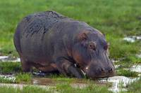 Close-up of a hippopotamus