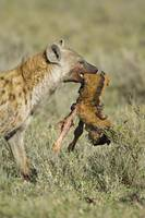 Hyena with a dead wildebeest calf in its mouth