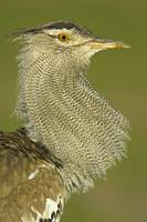 Close-up of a Kori bustard