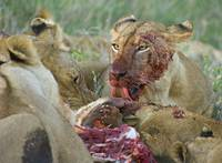 Four lioness eating a kill