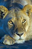 Close-up of a lioness