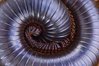 Close-up of a millipede curled up