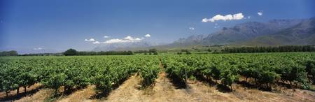 Vineyard with mountains in the background