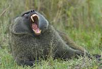 Close-up of an Olive baboon yawning