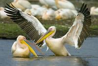 Two Great white pelicans wading in a lake