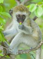 Vervet monkey sitting on a branch