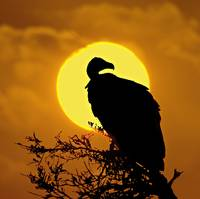 Silhouette of a vulture perching on a branch