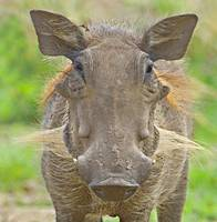 Close-up of a warthog