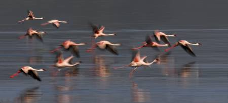 Flock of lesser flamingos lying over a lake
