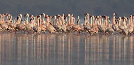 Lesser flamingos in water