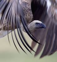 Close-up of a white-backed vulture