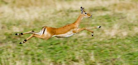 Springbok leaping in a field