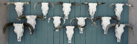 Cow skulls hanging on planks