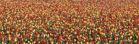 Tulips in a field