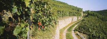 Gravel road passing through vineyards
