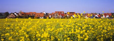 Mustard field with a town in the background