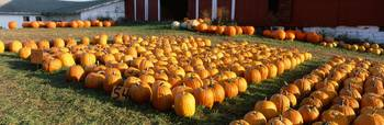 Rows of pumpkins in the field