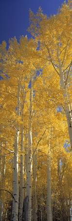 Golden Aspens Standing Tall Flagstaff AZ