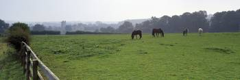 Horses grazing in a meadow Helmsley Castle Helmsl