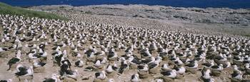 High angle view of flock of Black-browed albatros