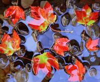 Close-up of maple leaves in the water