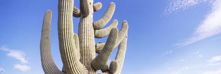 Low angle view of a Saguaro cactusCarnegiea gigan