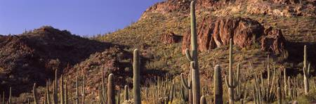 Cacti on a landscape Organ Pipe Cactus National M