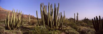 Organ Pipe cacti Stenocereus thurberi on a landsc