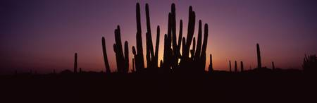 Silhouette of Organ Pipe cacti Stenocereus thurbe