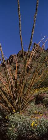 Plants on a landscape Organ Pipe Cactus National
