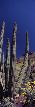 Organ Pipe cactus Stenocereus thurberi on a lands