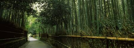 Road passing through a bamboo forest