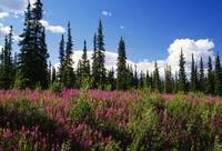 Pink fireweed flowers blooming in forest clearing