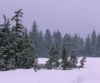 Spruce tree forest in snowstorm