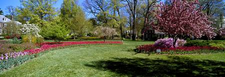 Tulips and cherry trees in a garden