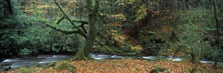 Tree at the riverside River Erme Dartmoor Devon E