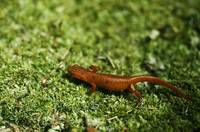 Eastern newt (Notophthalmus viridescens) on moss